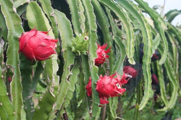 04王明郎火龍果植株在海風吹襲下,顯得滄桑,但果皮之下,充滿清甜。