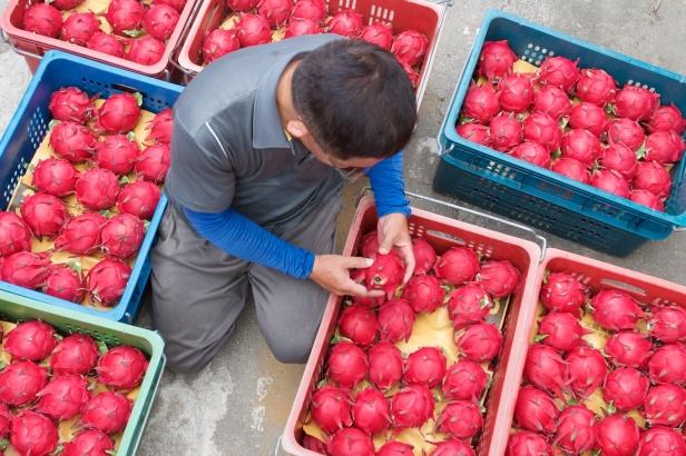 07王明郎火龍果相當受歡迎,產季落在每年7月到12月。