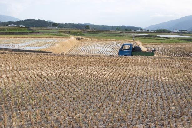 稻米收割之後002
