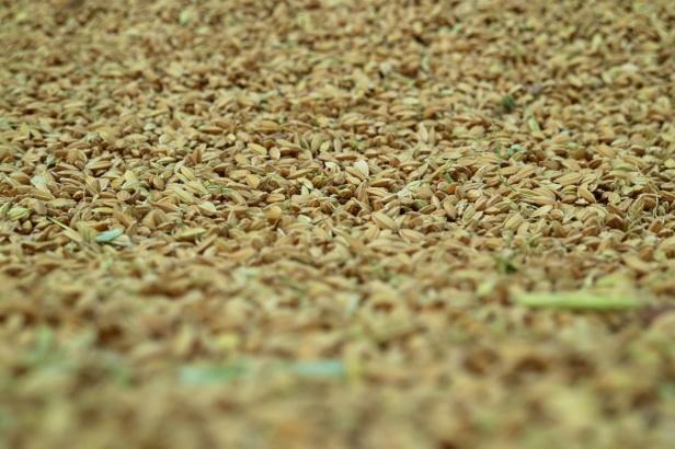 稻米收割之後005