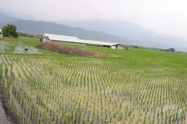 稻米收割之後011